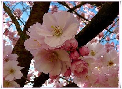 Une-fleur-cerisier